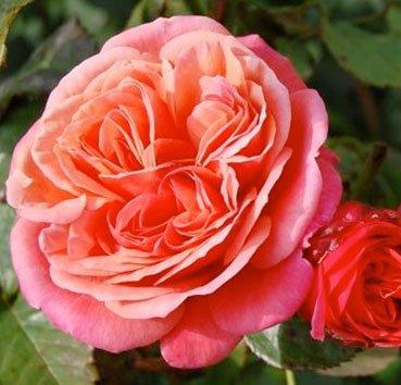 Роза Mary Ann, серия Exklusive Rosen