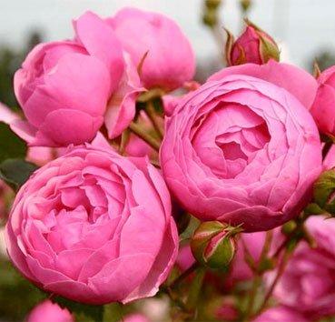 Роза Pomponella, серия Exklusive Rosen