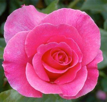 Роза Romanze, серия Exklusive Rosen