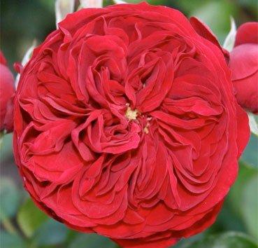 Роза Rotkäppchen, серия Exklusive Rosen