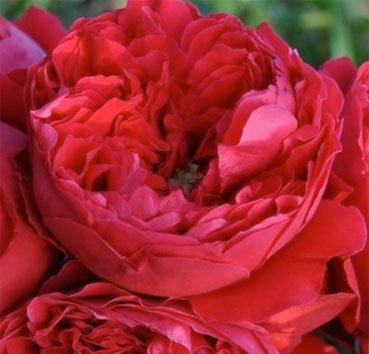 Роза плетистая Florentina