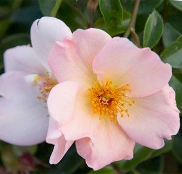 Роза плетистая Simple Life
