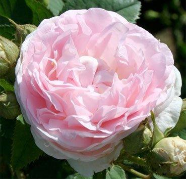 Роза историческая Maiden's Blush