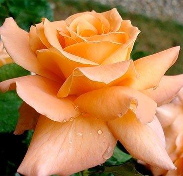 Роза Chateaubriand, серия Les Grands Parfums de la Cote d'Azur