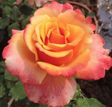 Роза Frenesie, серия Les Grands Parfums de la Cote d'Azur