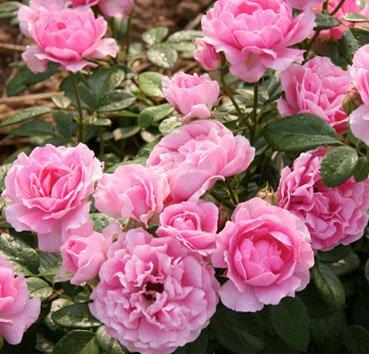 Роза Giliane, серия Les Grands Parfums de la Cote d'Azur