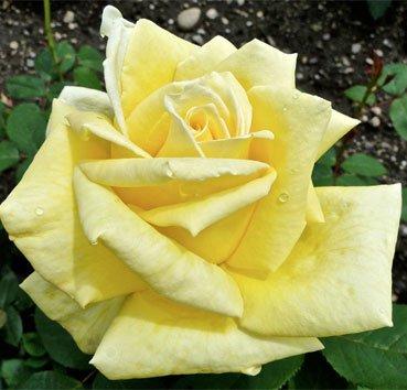 Роза Golden Fashion, серия Les Grands Parfums de la Cote d'Azur