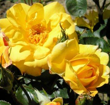 Роза штамбовая Amanda
