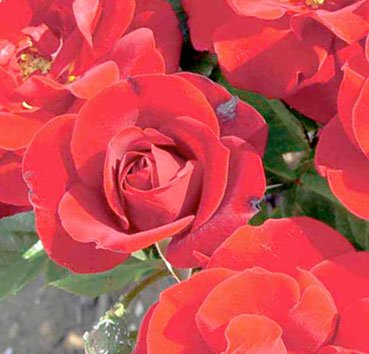 Роза штамбовая Red Hat Lady