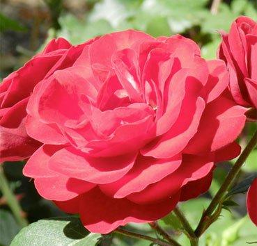 Роза штамбовая Lilli Marleen