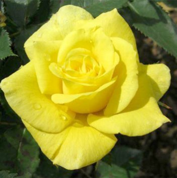 Роза штамбовая Friesia