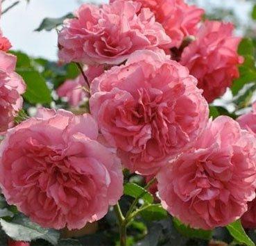 Роза штамбовая Rosarium Uetersen