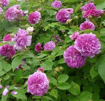 Роза-рамблер Russeliana