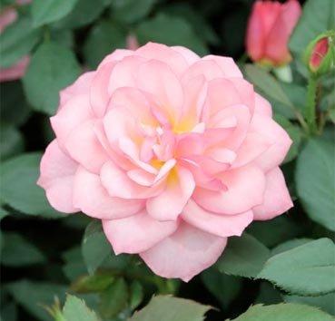 Роза полиантовая (ландшафтная) Channabelle