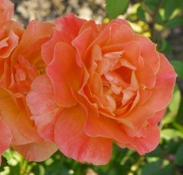 Роза полиантовая (ландшафтная) Fellowship