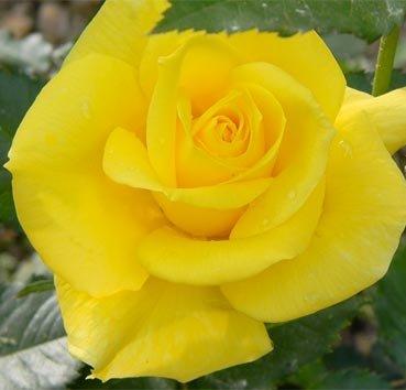 Роза полиантовая (ландшафтная) Fresia