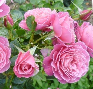 Роза полиантовая (ландшафтная) Gemma