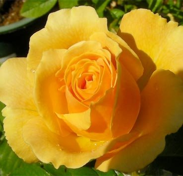 Роза полиантовая (ландшафтная) Henrietta Barnett
