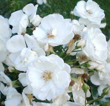 Роза полиантовая (ландшафтная) Innocencia