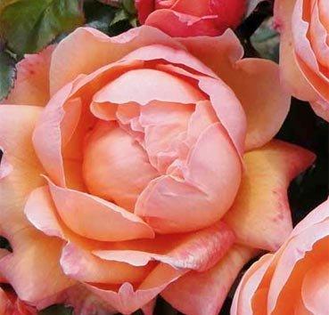 Роза полиантовая (ландшафтная) Lady Marmalade