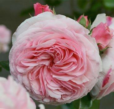 Роза полиантовая (ландшафтная) Octavia Hill