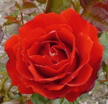 Роза полиантовая (ландшафтная) Remembrance