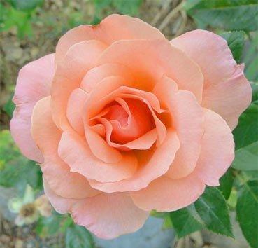 Роза полиантовая (ландшафтная) Sunset Boulevard