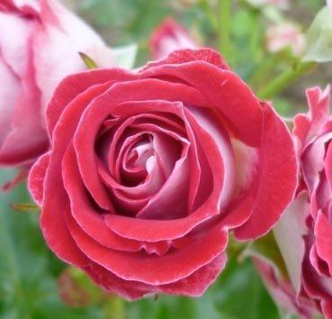 Роза полиантовая (ландшафтная) Schone Koblenzerin