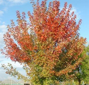 Клен фримана Autumn Blaze