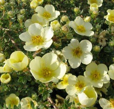 Лапчатка кустарниковая Primrose Beauty