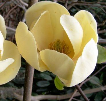 Магнолия Honey Tulip