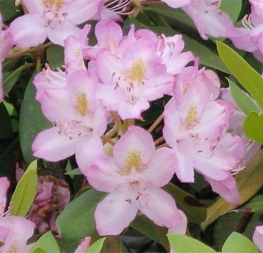 Рододендрон Roseum Pink