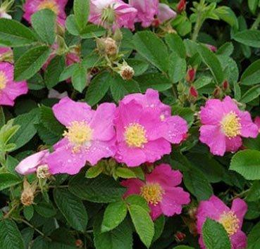 Роза морщинистая Rubra