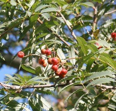 Рябина обыкновенная Asplenifolia