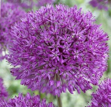 Лук декоративный Purple Sensation
