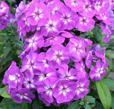 Флокс Adessa Purple Star