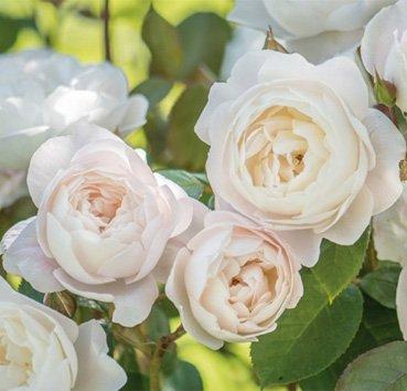 Роза английская Desdemona