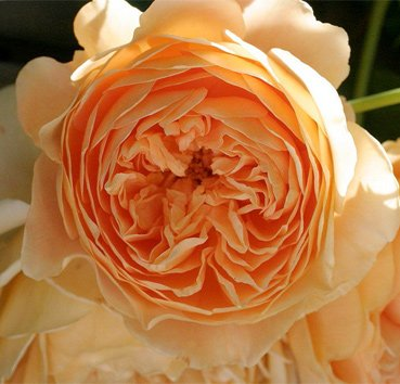 Роза английская Crown Princess Margareta