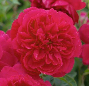 Роза английская Thomas A'Becket