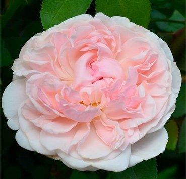 Роза английская St Swithun