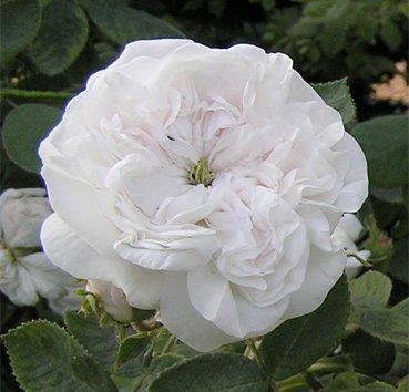 Роза английская Mme Hardy