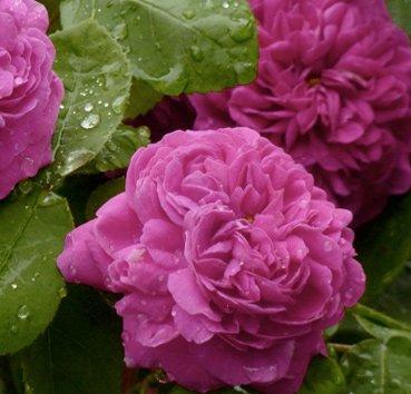 Роза английская Rose de Rescht