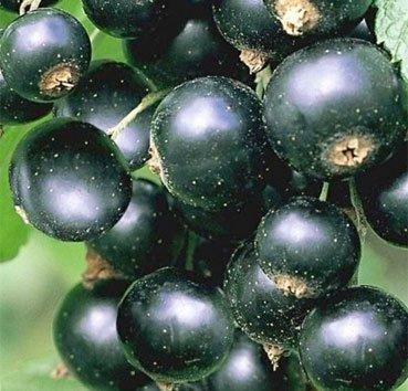 Смородина черная Titania