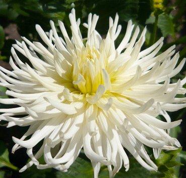 Георгина Cactus White Star