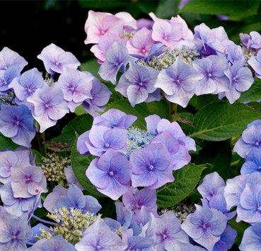 Гортензия крупноцветковая Fasan