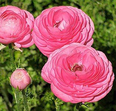 Лютик махровый Ranunculus Aviv Pink