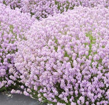 Лаванда узколистная Hidcote Pink
