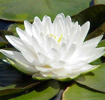 Водная лилия (нимфея) Gonnere