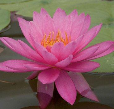 Водная лилия (нимфея) Mayla