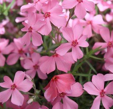 Флокс Early Spring Light Pink